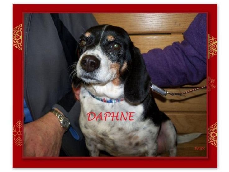 Meet DAPHNE, an adoptable Beagle looking for a forever home. If you're looking for a new pet to adopt or want information on how to get involved with adoptable pets, Petfinder.com is a great resource.