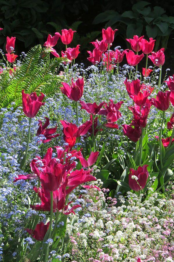 Tulip Garden Photograph
