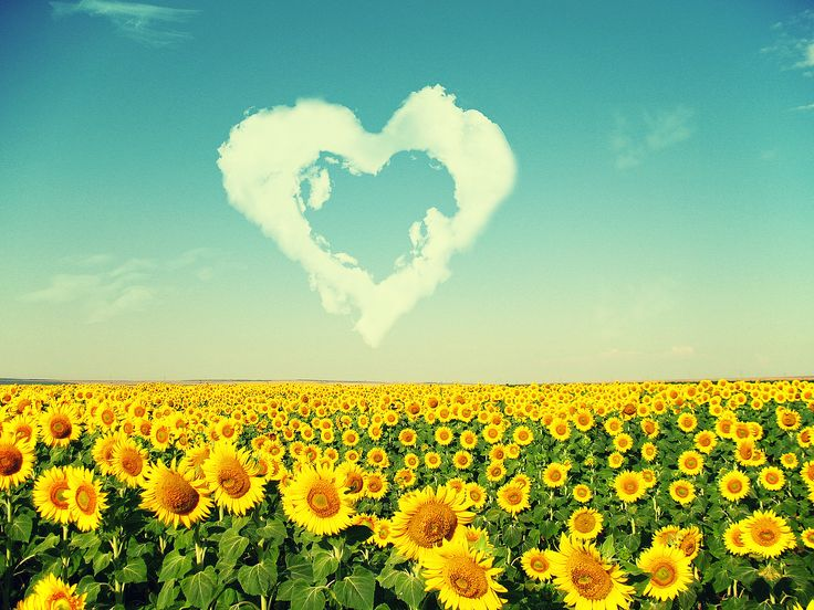 New Sunflowers love the sun - HD nature wallpaper. Beautiful Nature Landscapes Desktop Wallpapers. Awsome Landscape Wallpapers. HD Wallpaper Download for iPad and 3