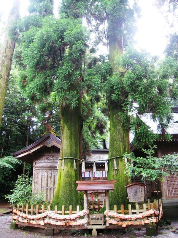 天孫降臨の地宮崎県には多くのパワースポットがあります。中でも高千穂神社の「夫婦杉」が今人気なんです。