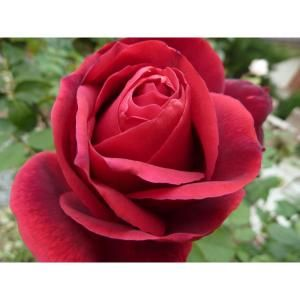 Mea Nursery All Time Favorites Rose Mister Lincoln-60005 at The Home Depot