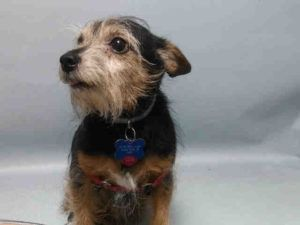 SUPER URGENT 11/05/16 Brooklyn Center COCO – A1095974  NEUTERED MALE, BROWN / BLACK, YORKSHIRE TERR MIX, 8 yrs OWNER SUR – EVALUATE, NO HOLD Reason PERS PROB Intake condition EXAM REQ Intake Date 11/05/2016, From NY 10301, DueOut Date 11/08/2016,
