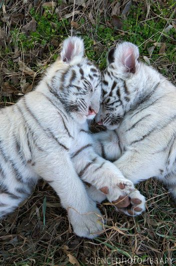 These two White Bengal cubs in the wild would most likely be killed by hunter before they it adult hood