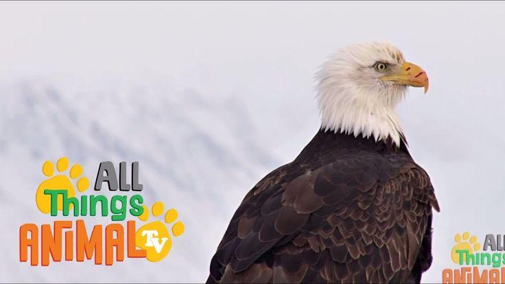 BALD EAGLE: Animal videos for children and kids. Preschool| Kindergarten...