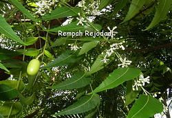 Azadirachta indica / daun mimba  Neem leaves are responsible for some of the already mentioned neem benefits, they are known to possess immunomodulatory, anti-inflammatory, antihyperglycaemic, antiulcer, antimalarial, antifungal, antibacterial, antiviral, antioxidant, antimutagenic and anti-carcinogenic properties, being one of the most active parts of the plant.