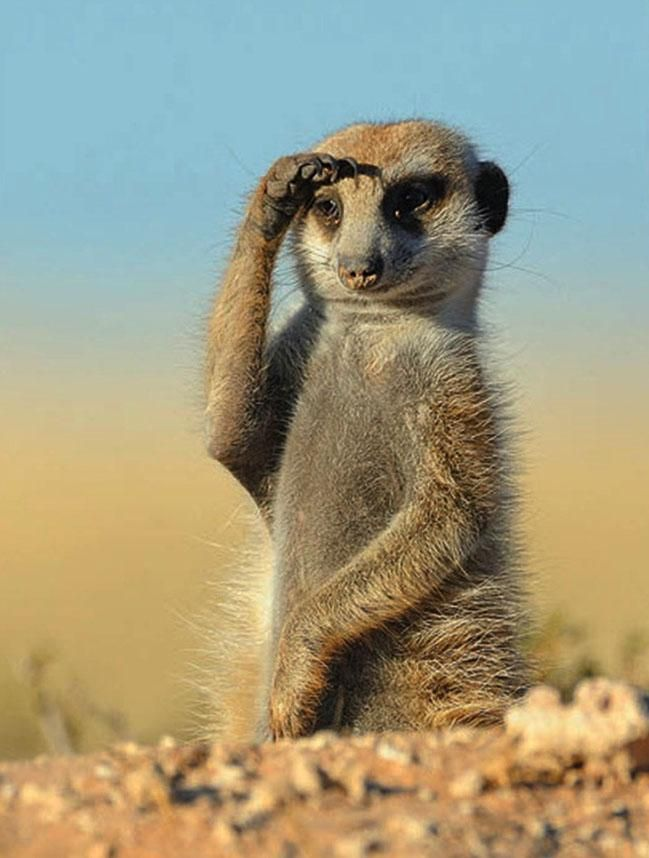 "A salute from a Meerkat.....The meerkat is a small mammal belonging to the mongoose family. Meerkats live in all parts of the Kalahari Desert in Botswana, in much of the Namib Desert in Namibia and southwestern Angola, and in South Africa. A group of meerkats is called a ""mob"", ""gang"" or ""clan""."