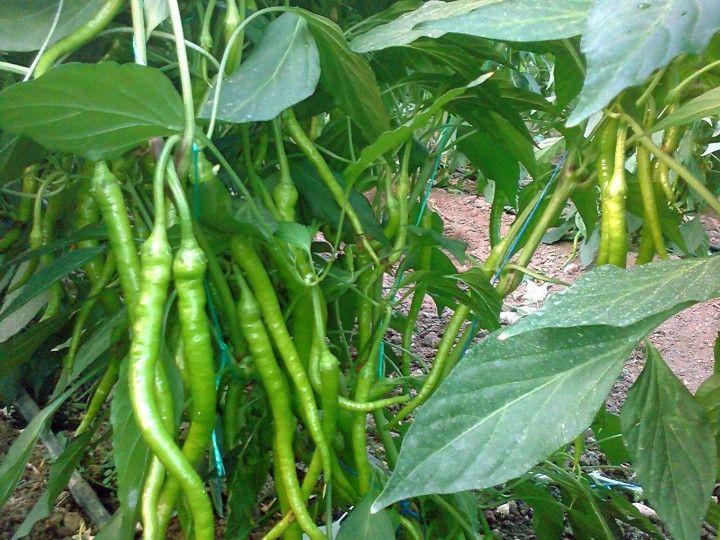 Biber Toprak İsteği hakkında yazılmış olan yazımızdan yetiştiricilik hakkında bilgi alabilir tarımsal mağazamızdan tohum sipariş edebilirsiniz.