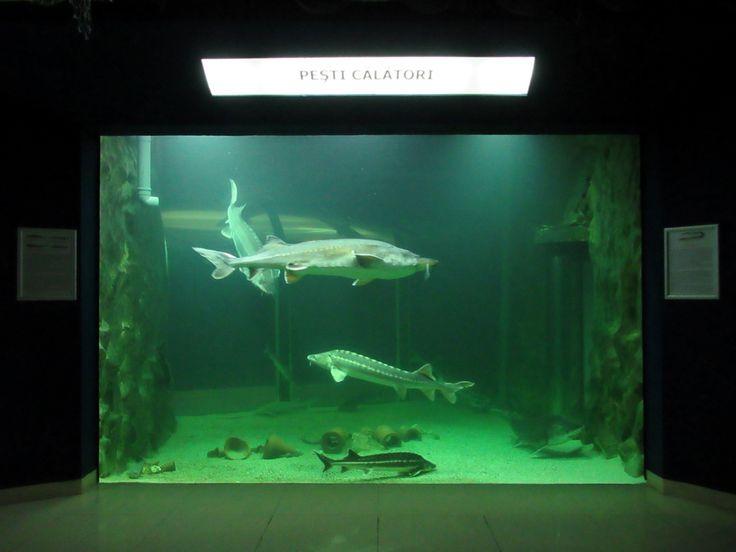 Danube River sturgeon are on display at the aquarium of the Danube Delta Ecotourism Museum in Tulcea, Romania.