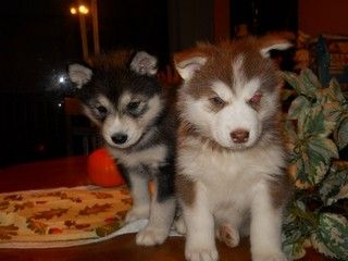 Wolf Hybrid Puppies --cute but can't have