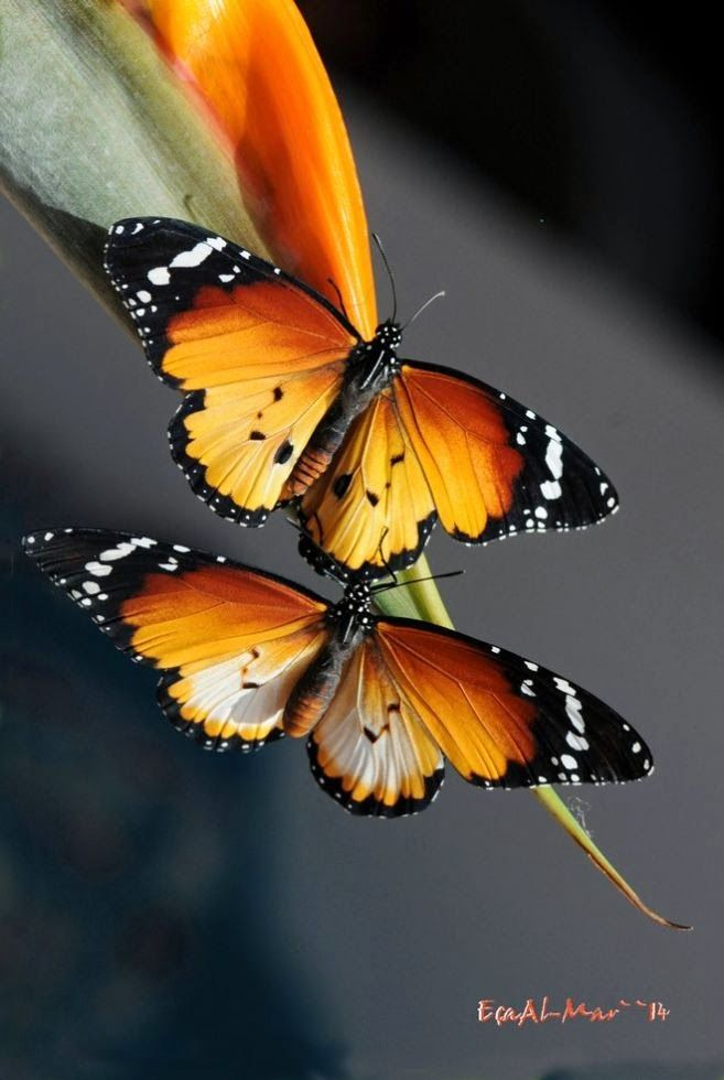 Awesome butterflies Red Pierrot - Talicada nyseus Clouded Magpie Danaus chrysippus butterflies common eggfly butterfly
