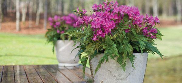Indoor Azalea Care Tips Planting Growing Pruning Azaleas Pink Azaleas Pink Plant Azaleas Care