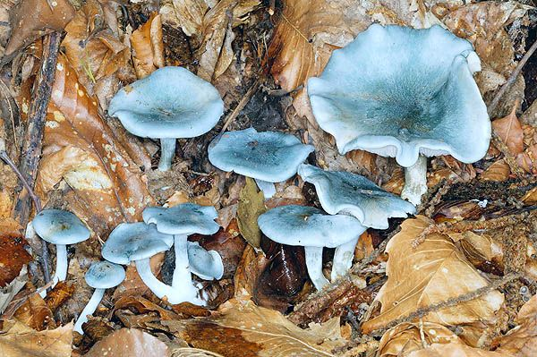 Clitocybe odora - edible blue fungus; strong aroma of aniseed
