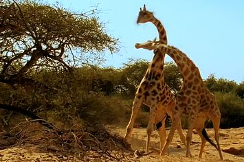 Giraffe Fighting Happens And It's Nuts