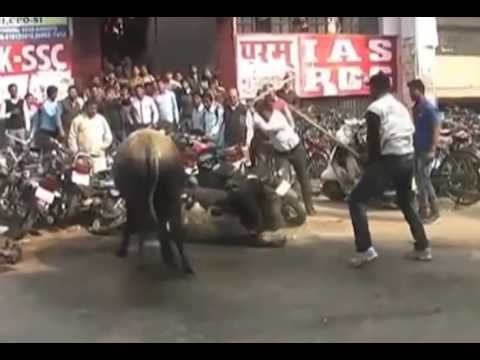 Bull fight in Indian Street - stop animal cruelty