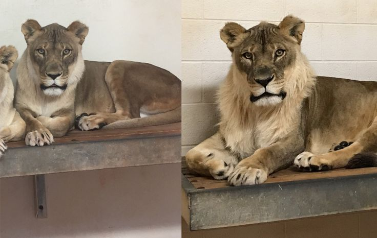 FOX NEWS: Lioness at Oklahoma City Zoo grows mane stuns her keepers