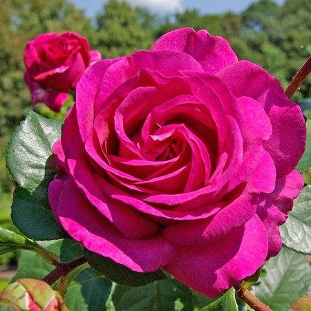 RP: Chartreuse de Parme : Delbard Large Flowers Sweet Fragrant Garden Rose Bush (tea hybrids) : FamousRoses.eu