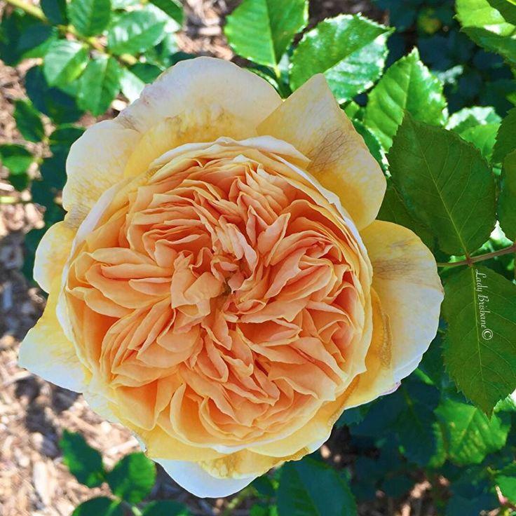 New Farm Park Rose Gardens- David Austin Rose