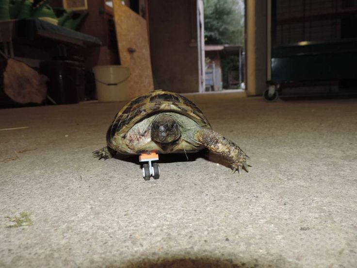 This Disabled Tortoise Rolls Around On A Prosthetic LEGO Leg - Injured tortoise gets set lego wheels help move