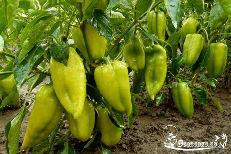 Самые популярные и лучшие сорта болгарского перца - описание и характеристика, для открытого грунта и пленочных укрытий, урожайные и ранние