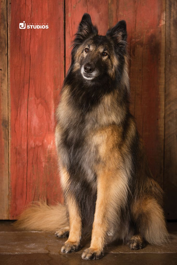 Beautiful, regal dog photography. Love the rustic red wooden panels as a backdrop!