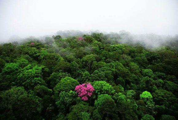 Abanos roz pe muntele Kaw, Guiana Franceza