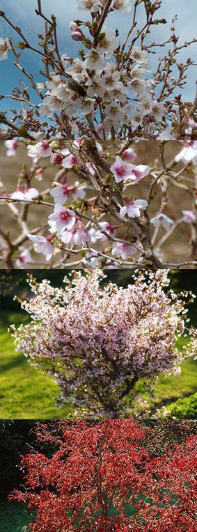 25 best ideas about prunus on pinterest tuin hortensia. Black Bedroom Furniture Sets. Home Design Ideas