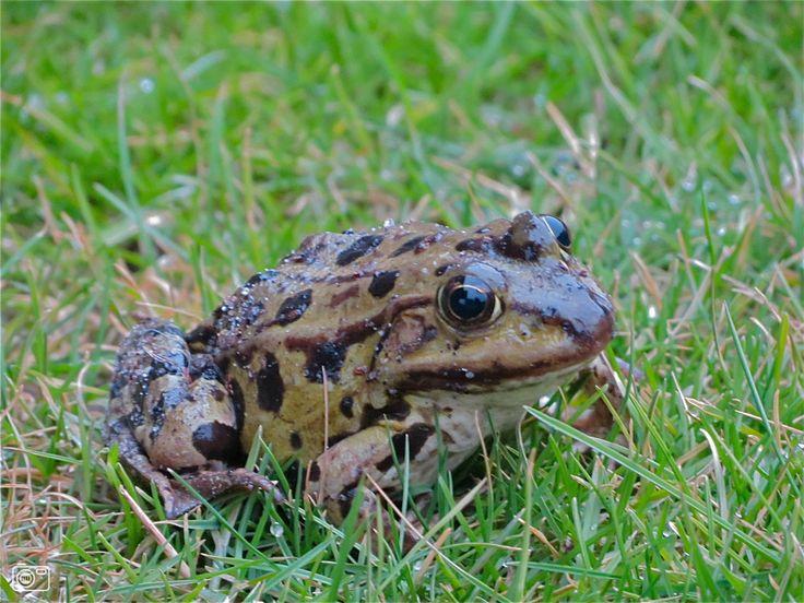 kikker | kikker op het gras in vroomshoop vroomshoop vroege kikker op het gras ...