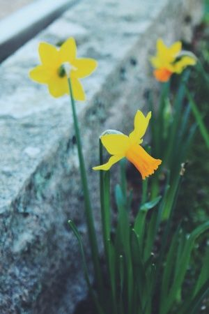 hellodaydream | VSCO Grid #photography #photographer #ocean #nature #sea #beautiful #love #flowers #floral #daffodils