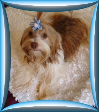 Penny's Pups is a TN breeder of AKC Poodles & Yorkies