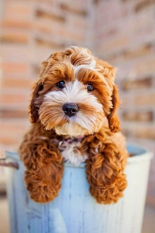 tiffan Cavapoo  Cavapoo is a mix breed that are result of breeding between Cavalier King Charles Spaniel and Poodle Cavapoo are cheerful dogs that get along very well with children and new dog owner They are ranked as th Ideal dog breed for small apartments