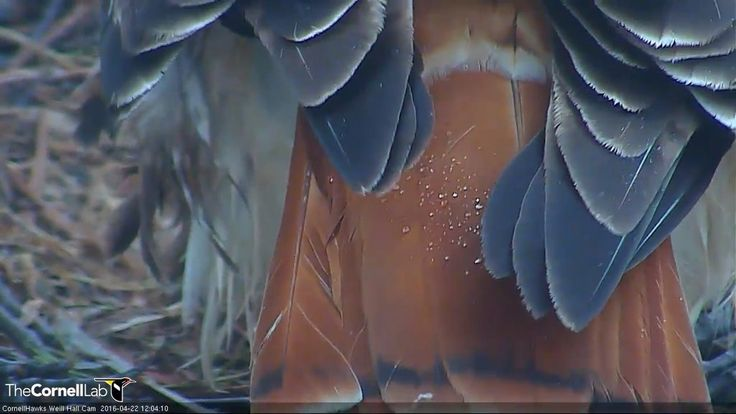 """CornellHawks on Twitter: """"12:04, 4/22 As usual, BR always makes sure we get lots of views of her tail. But isn't it lovely with the raindrops? https://t.co/rDWGiSqALg"""""""
