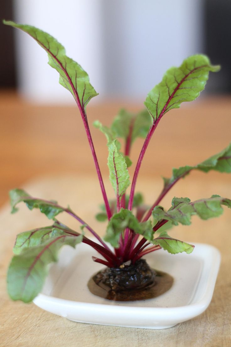 How to Propagate Beet Greens.  I wonder if this would work with other root vegetables too