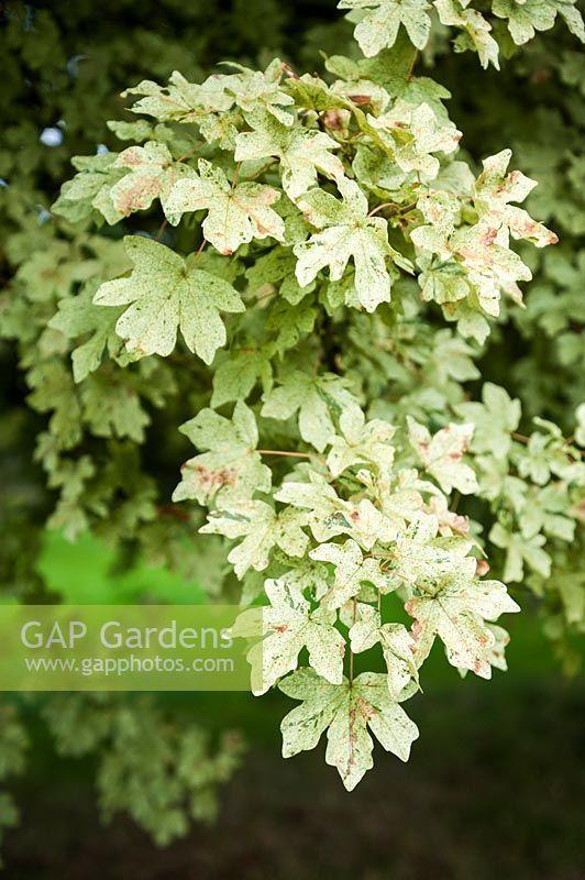 Acer Campestre Pulverulentum Vrt 2 Acer Plants Herbs