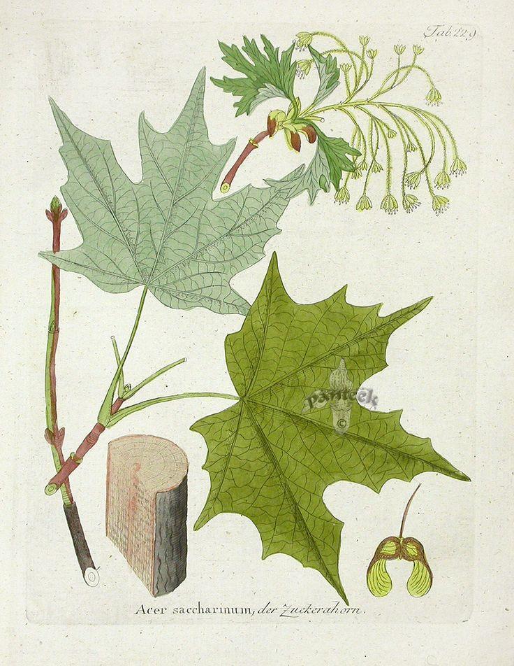 164 best Missouri Native Trees images on Pinterest Missouri