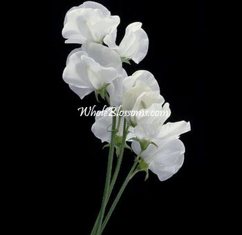 White Sweet Peas flower for my bouquet and boutineres and corsages