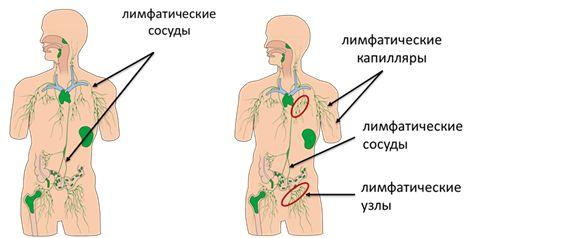 Лимфатическая система. Движение лимфы