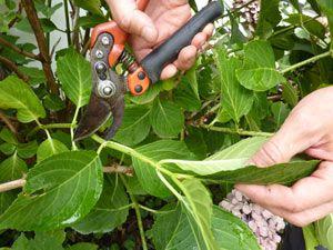 Hortensias, bouturage en été, taille sous les feuilles en automne, taille plus importante fin févrieŕ´´´