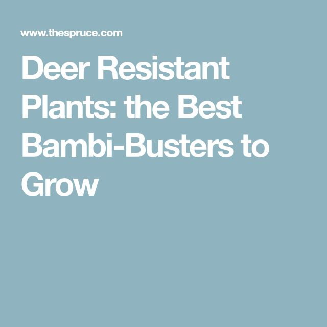 Deer Resistant Plants: the Best Bambi-Busters to Grow