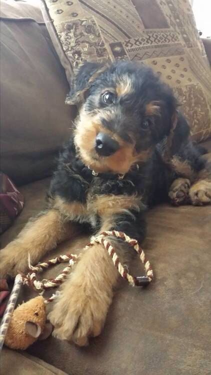 Airedale terrier Puppy absolutely darling✨