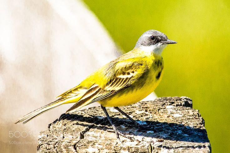Yellow wagtail by MartinPerez via http://ift.tt/2quUnjv