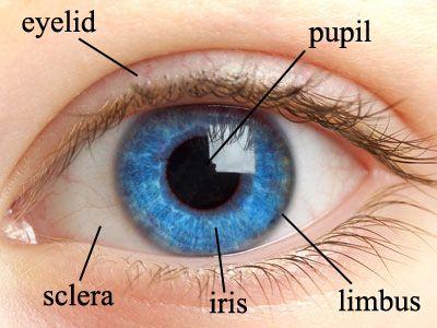 The 25 Best Human Eye Diagram Ideas On Pinterest Eye