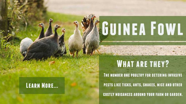Learn More about Guinea Fowl for Sale