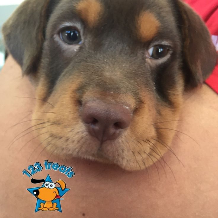 Mini Hippo Puppies For Sale In Tennessee Ideas
