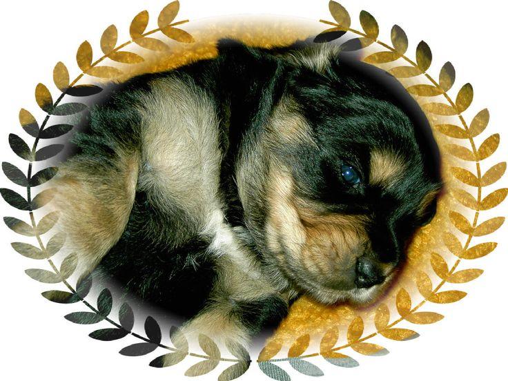 Puppy Beda