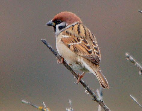 Hør Skovspurv på fuglestemmer.dk, som er en omfattende samling af danske fuglestemmer. Fungerer også på din mobil!