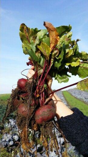 Biodynamic striped beet roots @ birkemosegaard. Www.stedsans.nu