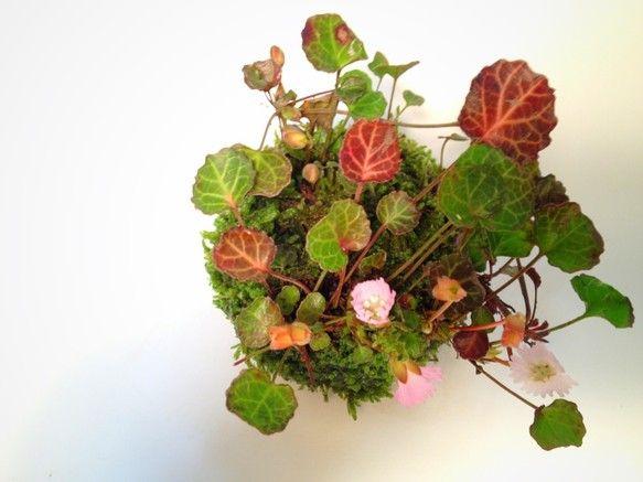 フリルのように切れ込みのあるパステルピンクの可愛い花。葉の形状がウチワのように見えるのが名前の由来だそう。花が終わった後もつやつやした常緑の葉っぱが1年中楽し...|ハンドメイド、手作り、手仕事品の通販・販売・購入ならCreema。