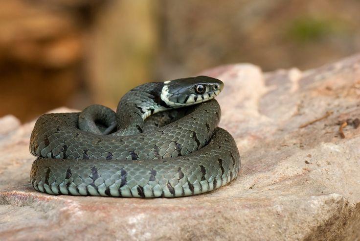 Les serpents arrivent dans les jardins, attention à vos chats et vos chiens ! Découvrez nos conseils pour les éloigner de chez vous et quoi faire en cas de morsure... --- http://www.blog-verlina.fr/2015/04/morsure-de-serpent-chez-le-chien-ou-le-chat-que-faire.html
