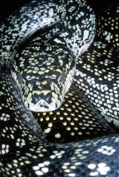 Morelia spilota Diamond python - #snake