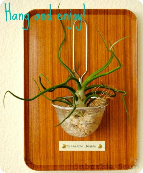 1000 images about lugplante on pinterest air plants air plant display and terrarium. Black Bedroom Furniture Sets. Home Design Ideas